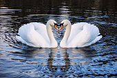 Romantic two swans on a lake