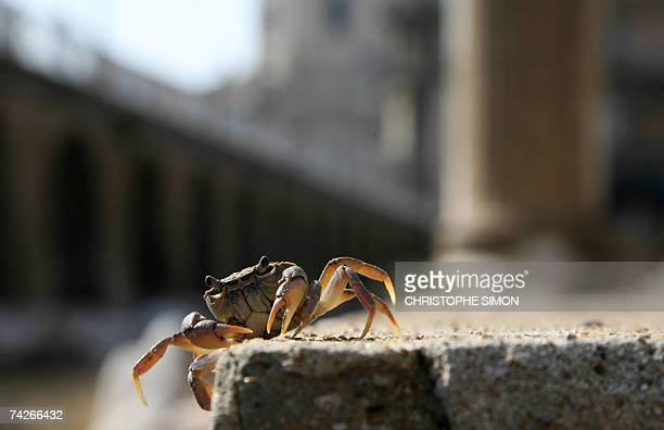 TO GO WITH AFP STORY BY KATIA DOLMADJIAN A freshwater crab Potamon fluviatile walks in the ancient ruins of Trajan's Forum in Rome 22 May 2007 A...