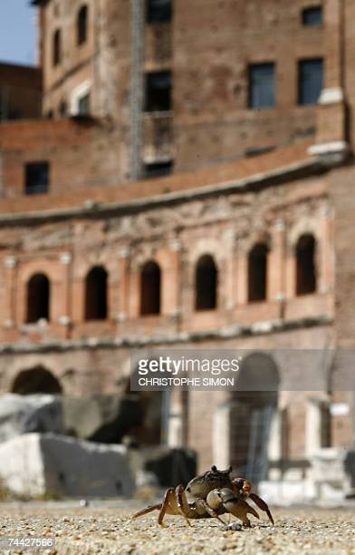 TO GO WITH ItalyarchaeologynatureoffbeatschedFEATURE by Gina Doggett A freshwater crab Potamon fluviatile walks in the ancient ruins of Trajan's...
