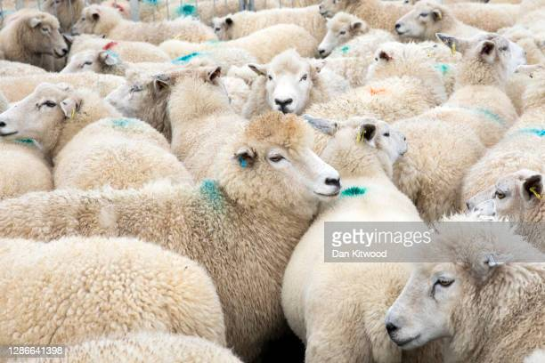 Romney Sheep, for breeding are rounded up for grading on November 18, 2020 in Romney Marsh, England. The National Sheep Association has warned that...