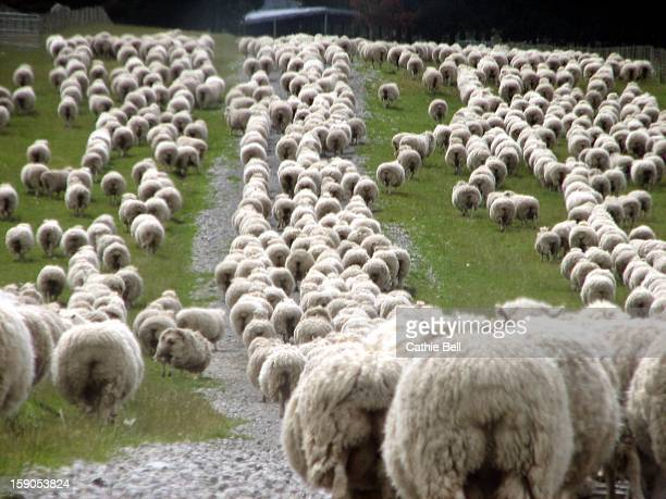 Romney sheep mob trailing to yards.