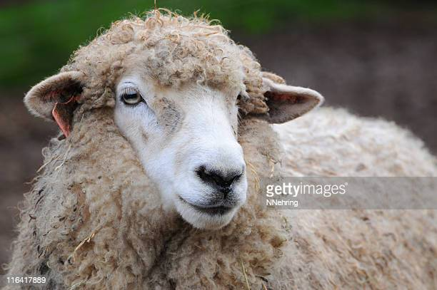 Romney sheep, Ovis aries