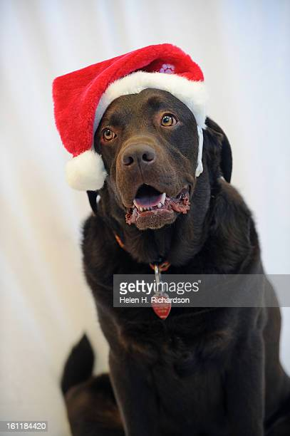 Romy the chocolate lab gets his Christmas photo taken at Freedom Service Dogs at 2000 West Union Ave in Englewood during Colorado Gives Day His owner...