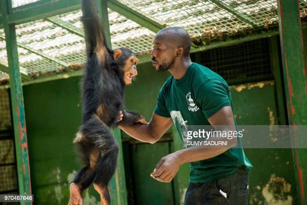 Ronald Wako head of the primate section at the Uganda Wildlife Education Centre helps to rehabilitate a rescued chimpanzee on June 9 2018 in Entebbe...
