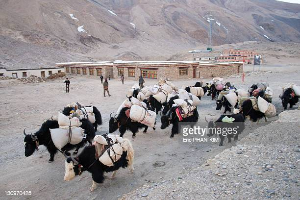 rongbuk monastery, mt everest, china - yak stock pictures, royalty-free photos & images