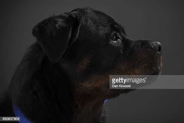 Ronnie, a male, seven-year-old Rottweiler, who is looking for a new home, sits for a portrait at Battersea Dogs and Cat's Home on December 28, 2016...