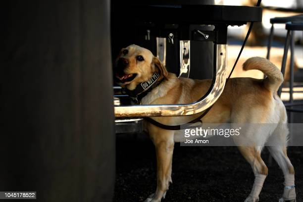 Rony a yellow Lab looking for a scent with J Richardson of the Department of Homeland Security federal protective service during their training as...