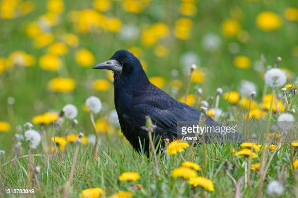 Rook foraging in meadow with wildflowers in spring.