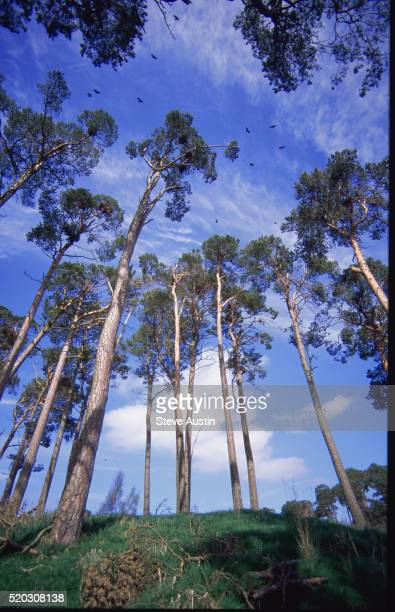 Rookery in Scots Pines