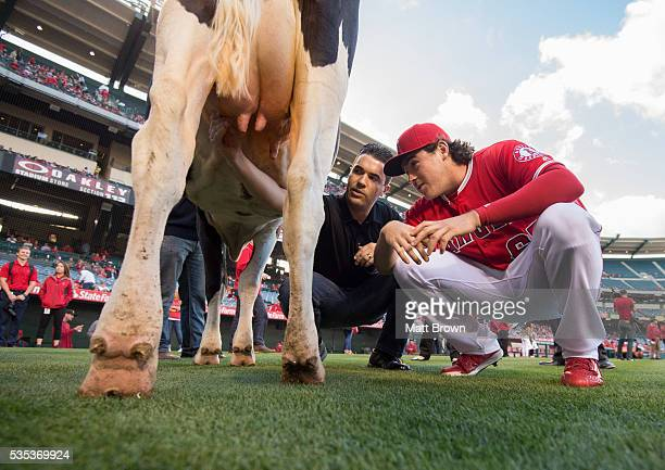 Rookie pitcher Greg Mahle of the Los Angeles Angels of Anaheim gets pointers before the annual Dairy Night rookie cowmilking contest before the game...