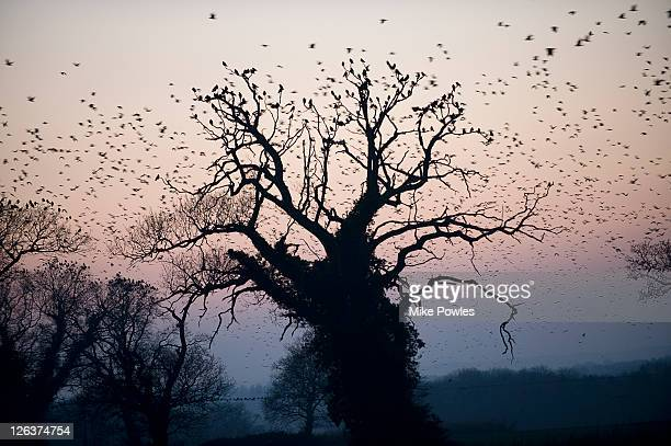rooks (corvus frugilegus) circling over britain's largest rookery, norfolk, uk - perching stock pictures, royalty-free photos & images