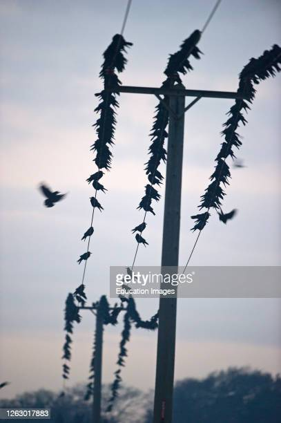 Rooks, Corvus frugilegus, at pre roost gathering, Buckenham in Yare Valley, Norfolk, UK.