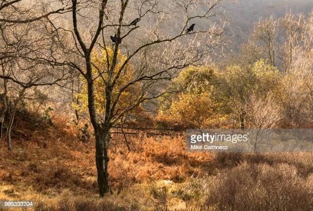rooks in autumn - mike caithness stock pictures, royalty-free photos & images