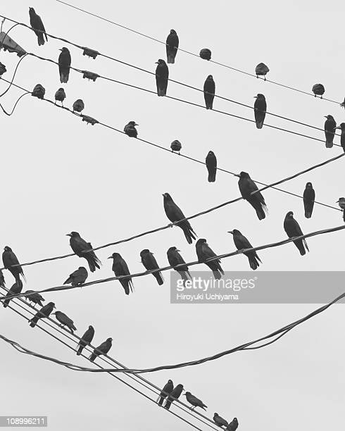 rooks on wires