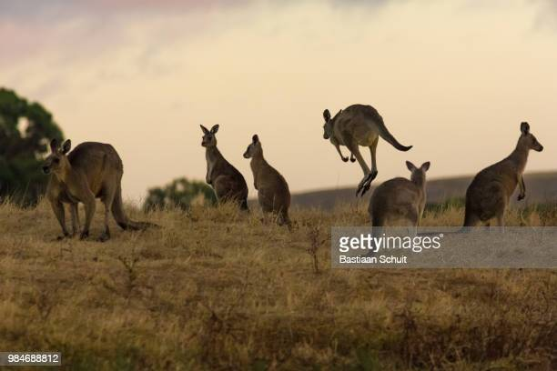 Roos before sunrise