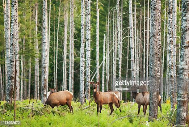 roosevelt elk - deciduous tree stock pictures, royalty-free photos & images