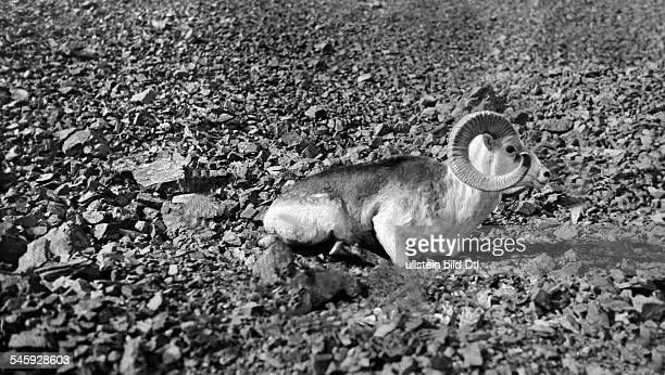 Roosevelt Theodore sons James Simpson Roosevelt Field Museum Expedition to Central Asia A shotgiant mountain sheep Pamir 1925Wide World Photo