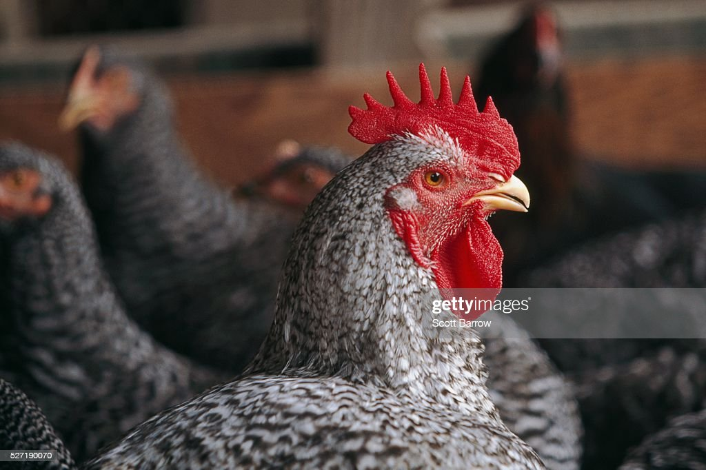 Rooster among chickens : Stockfoto