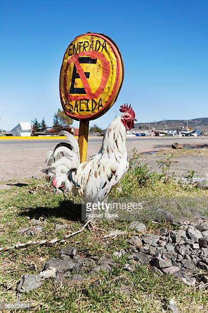 rooster and a road sign - funny rooster ストックフォトと画像