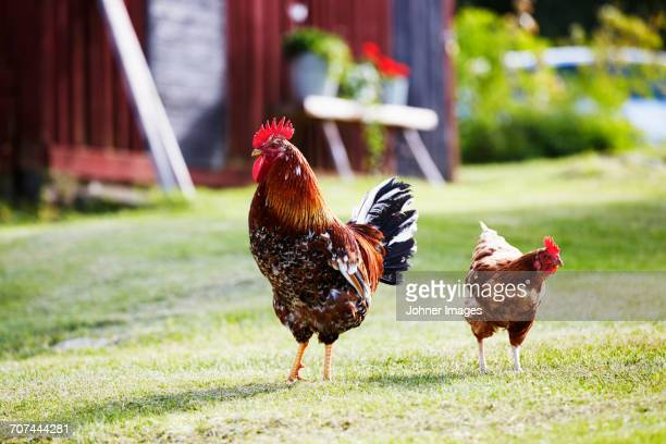 rooster and hen - rooster stock pictures, royalty-free photos & images