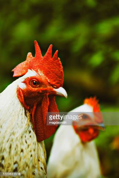 rooster and hen portrait outdoors - magdasmith stock pictures, royalty-free photos & images