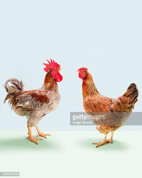 Rooster and hen standing in studio