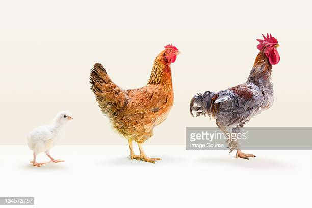rooster and hen standing with chick in studio - hen stock pictures, royalty-free photos & images