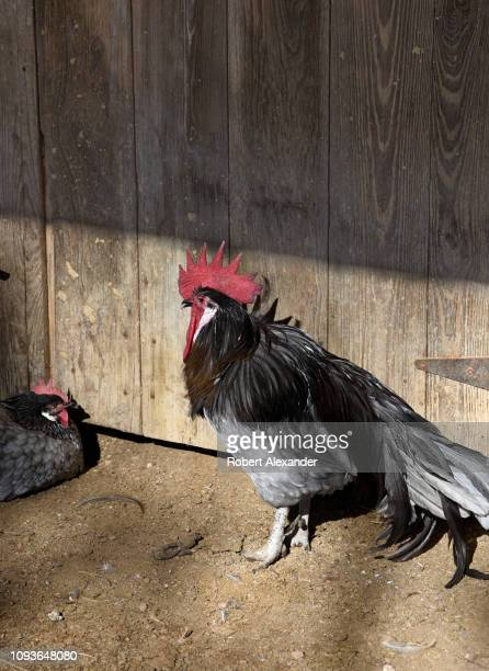 A rooster and hens seek out a sunny spot in their chicken pen at the SauerBeckmann Living History Farm near Stonewall Texas Interpreters at the...