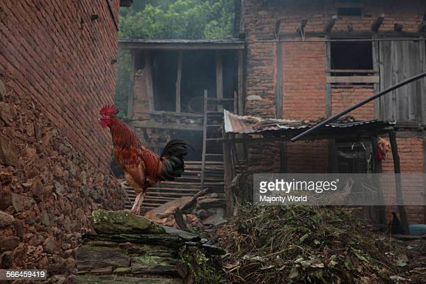 A rooster announces the beginning of the day in Bandipur a hilltop settlement in Tanahu District at an elevation of 1030 m on a mountain saddle 143...