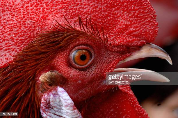 A rooster as it crows in Manila14 November 2005 The Philippines has been one of the few Asian countries that has remained free of the deadly avian...