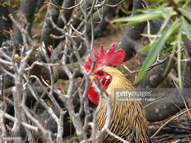Rooster By Plants On Field