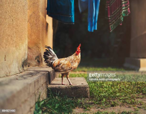 rooster chicken looking at camera - domestic animals stock photos and pictures