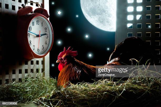 rooster cock waiting for morning wake up alarm clock ringing bell in henhouse during night - poulailler photos et images de collection