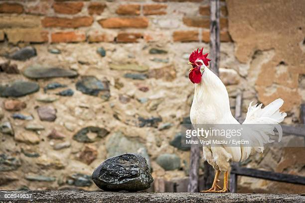 rooster crowing against wall - rooster stock pictures, royalty-free photos & images