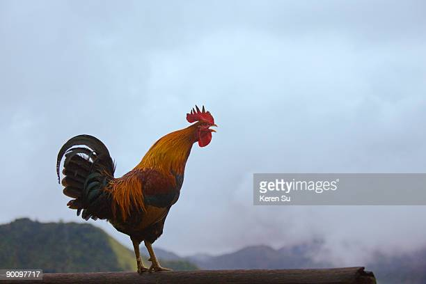 Rooster crowing in the mountain