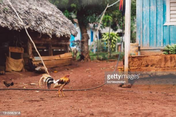 rooster in a court - bortes stock-fotos und bilder