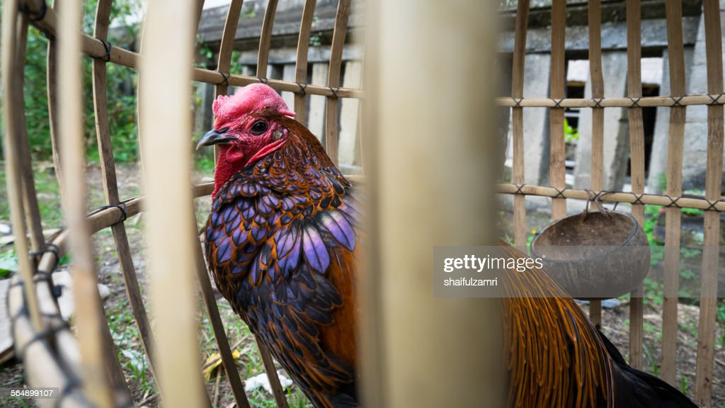 Rooster in Bali : Stock Photo