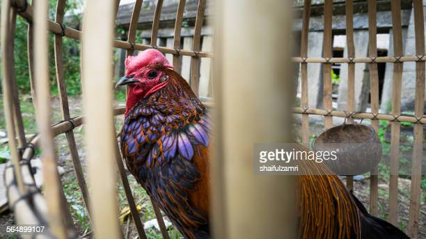 rooster in bali - shaifulzamri stock pictures, royalty-free photos & images