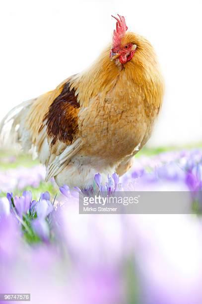 rooster in crocus field  - funny rooster ストックフォトと画像