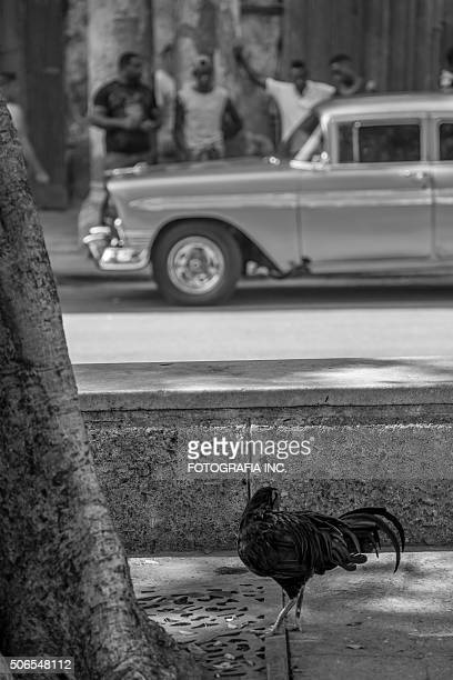 rooster in the havana - funny rooster stock photos and pictures