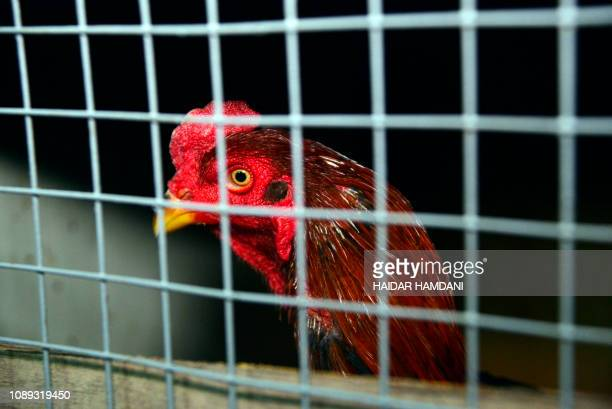 A rooster is seen in a pen prior to a cockfight in Najaf in the central Iraqi holy city of Najaf on January 26 2019 Cockfights in Iraq involving...