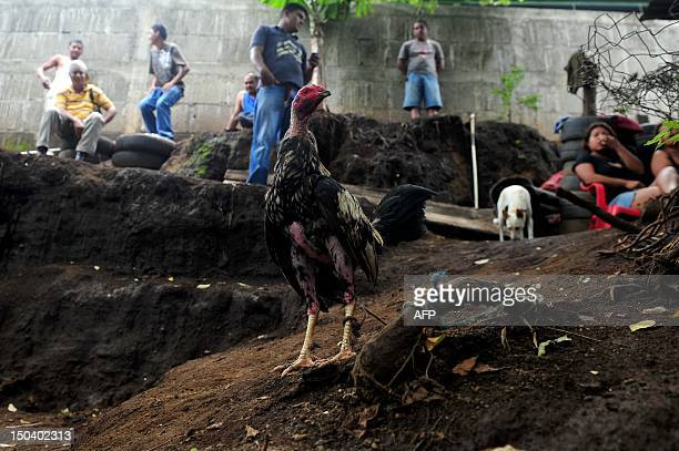 A rooster is seen next to a group of men gathering before a clandestine cockfight in Managua on August 12 2012 Bloody cockfighting with spurs a...