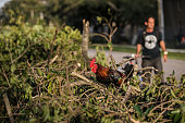 immokalee fl rooster jumps onto pile