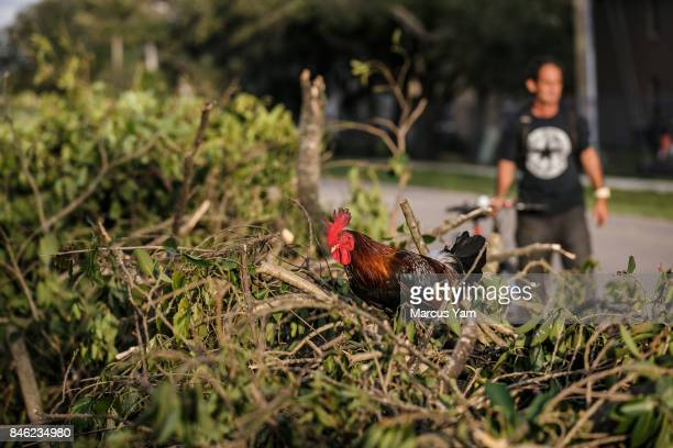 A rooster jumps onto a pile of debris gathered outside a house damaged by Hurricane Irma after the effects of passed through Immokalee Fla on Sept 11...