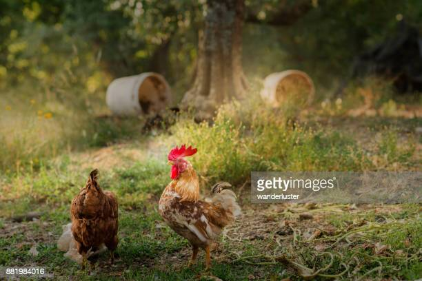rooster on a farm in abruzzo, italy - rooster stock pictures, royalty-free photos & images