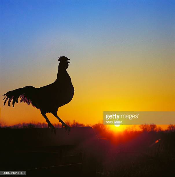 Rooster on fence at dawn, crowing