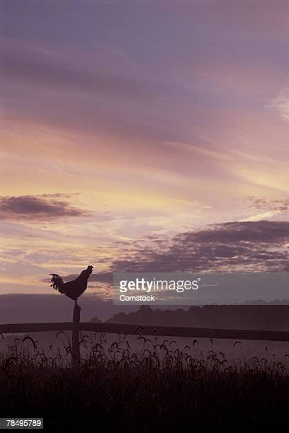 Rooster on fencepost at dawn