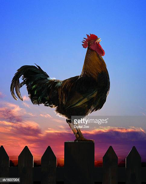 rooster perches on a fence crowing - cockerel stock pictures, royalty-free photos & images