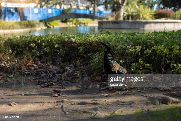 rooster - vertebrate stock pictures, royalty-free photos & images