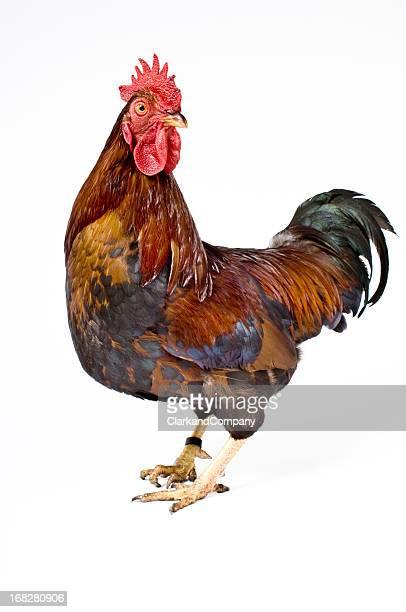 gallo - gallo foto e immagini stock